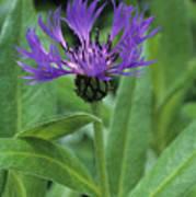 Cornflower Purple Surprise V1 Art Print