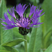 Cornflower Purple Surprise V2 Art Print