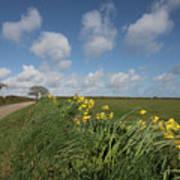 Cornish Daffodil Hedge Art Print
