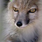 Corsac Fox- Vulpes Corsac 03 Art Print