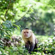 Costa Rica Capuchin Monkey II Art Print