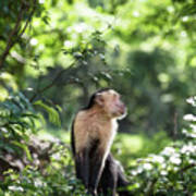 Costa Rica Capuchin Monkey Art Print