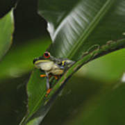 Costa Rica Red Eye Frog I Art Print