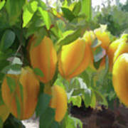 Costa Rica Star Fruit Known As Carambola Art Print