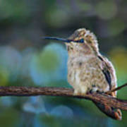 Costa's Hummingbird - Square Art Print