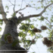 Cotton Ball Tree Art Print