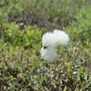 Cotton Grass -eriophorum Virginicum- Art Print