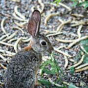 Cottontail Rabbit 4320-080917-1 Art Print