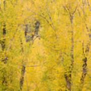 Cottonwood Autumn Colors Art Print