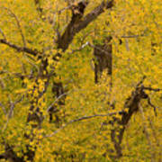 Cottonwood Fall Foliage Colors Art Print