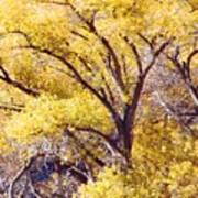 Cottonwood Golden Leaves Art Print