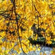 Cottonwood Tree Along The River Art Print