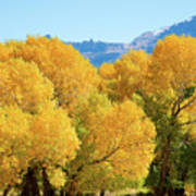 Cottonwoods in All Their Glory Art Print
