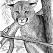Cougar In Tree Art Print