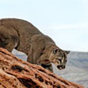 Cougar Prowling Art Print