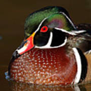 Courtship Colors Of A Wood Duck Drake Art Print