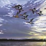 Courtship Flight Art Print