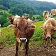 Cow Gazing  Art Print