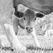 Cow Milk Art Print