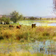Cows In The Desert Art Print
