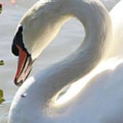Coy Swan Art Print