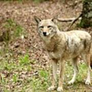 Coyote In Cades Cove Art Print