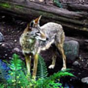 Coyote In Mid Stream Art Print