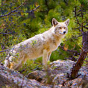 Coyote In The Rocky Mountain National Park Art Print