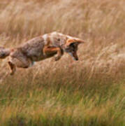 Coyote Leaping - Gibbon Meadows Print by Photo by DCDavis