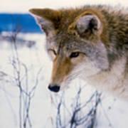Coyote Listening  For Prey Art Print