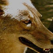 Coyote Profile Art Print