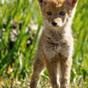 Coyote Pup Art Print