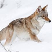 Coyote Winter Art Print