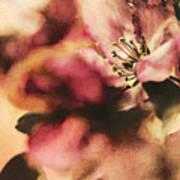 Crab Apple Blossoms IIi Art Print