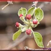 Crab Apple Buds Art Print