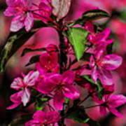 Crabapple Tree Blossoms Art Print