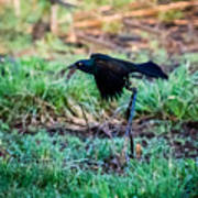 Grackle In The Morning  Art Print