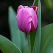 Cradled Pink Tulip Art Print