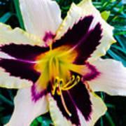 Cream And Purple Lily Macro Art Print