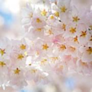 Creamy Blossoms Art Print