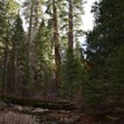 Creek And Giant Sequoias In Kings Canyon California Art Print