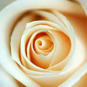 Creme Rose Art Print