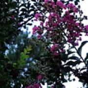 Crepe Mrytle Blossoms Art Print
