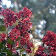 Crepe Myrtle Tree Blossoms Art Print