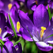 Crocus Amongst Us Art Print
