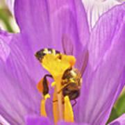 Crocus And The Bee Art Print