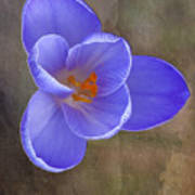 Crocus Focus Stacked 3 Art Print