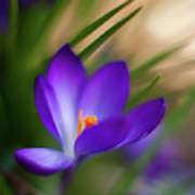 Crocus Light Art Print