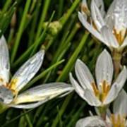 Crocus White Flowers Art Print