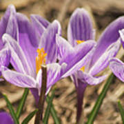 Crocuses 2 Art Print